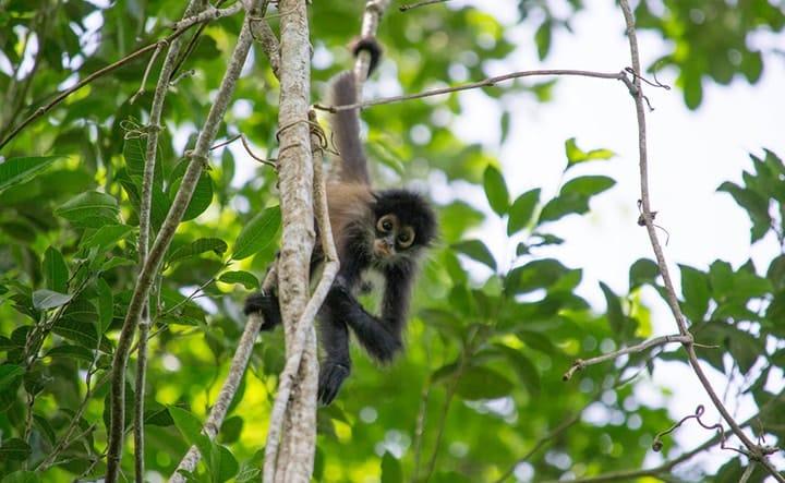 Observez les singes araignées de la forêt Maya