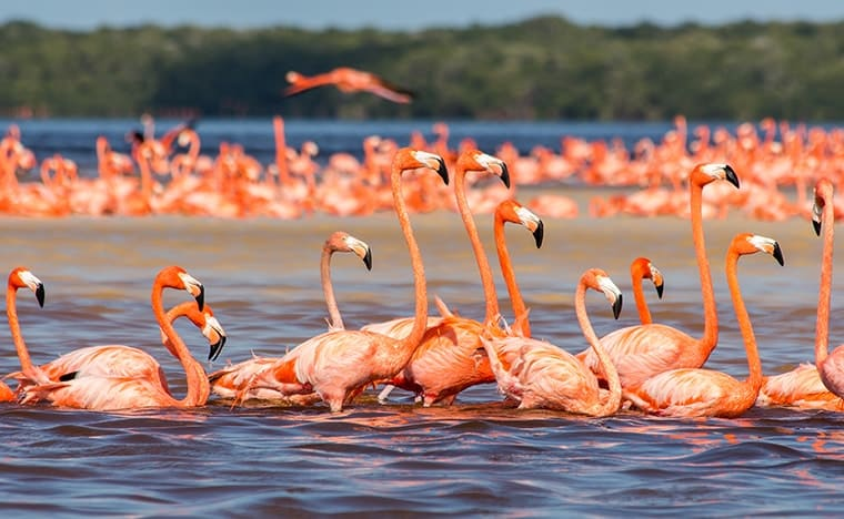 Que faire au Mexique - Celestun flamand rose