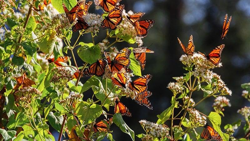 Mexique : patrimoine inscrit UNESCO - Papillon monarque