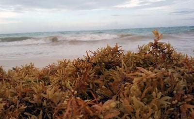 L'invasion des algues sargasses au Mexique