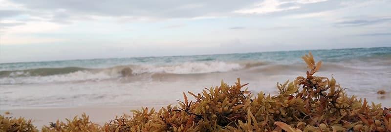 Algues sargasses : Invasion d'algues de la Rivera Maya au Mexique