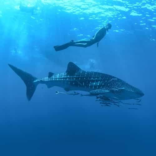 requins baleines