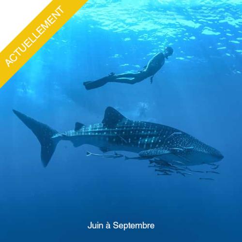 Plongez avec les requin baleine de Juin à Septembre
