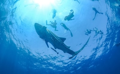 Nager avec les requins baleines