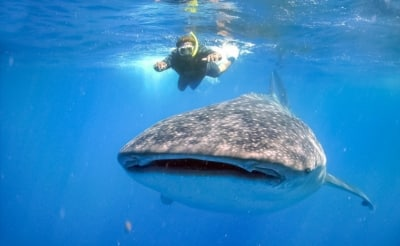 Plonger avec les requins baleines